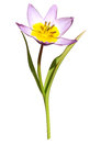 Bloomed purple yellow tulip flower leaves Royalty Free Stock Photo