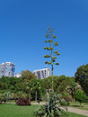 Blooming agave in a city park Royalty Free Stock Photo