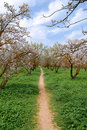 Blooming almond trees Stock Photography
