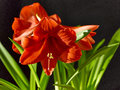 The blooming amaryllis gladness and beauty still life of exotic flowers on black background Royalty Free Stock Images