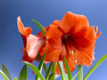 The blooming amaryllis gladness and beauty still life of exotic flowers on blue background Stock Images