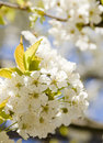 Blooming apple tree Stock Image