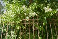 Blooming apple tree behind rusty iron fence. Royalty Free Stock Photo