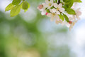 Blooming apple tree blossoms with smooth bokeh
