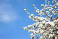 Blooming Apple tree on blue sky background Royalty Free Stock Photo