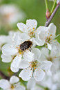Blooming apple tree branch and dark beetle Royalty Free Stock Photo