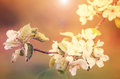 Blooming apple tree branch with sweet color background Royalty Free Stock Photo