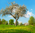 Blooming apple tree on cloudy blue sky Royalty Free Stock Images