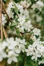 stock image of  Flowering Apple tree in the garden