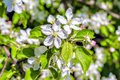 White apple tree flowers closeup. Blooming flowers in a sunny spring day background. Royalty Free Stock Photo
