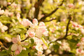 Blooming apple tree a in spring Stock Photo