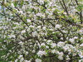 Blooming apple tree spring may trees in blossom belarus Royalty Free Stock Images