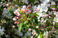 Blooming apple tree. Unfolded pink buds and white flowers Royalty Free Stock Photo