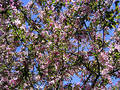 Blooming apple tree wallpaper/background Royalty Free Stock Photo
