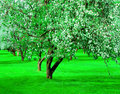 Blooming apple trees garden Royalty Free Stock Image