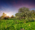 Blooming apple trees in garden at spring the Royalty Free Stock Image