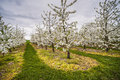 Blooming apple trees rows of white Royalty Free Stock Photos