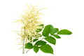 Blooming Aruncus dioicus Royalty Free Stock Photo