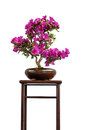 Blooming azalea bonsai tree on a shelf Stock Images