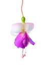 Blooming beautiful single flower of white and lilac fuchsia is i Royalty Free Stock Photo