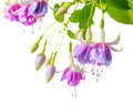 Blooming beautiful twig of lilac and white fuchsia flower is iso Royalty Free Stock Photo
