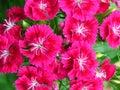 Blooming Beautiful Violet Pink...