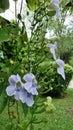 Blooming bengal trumpet flower throughout summer grandiflora large hanging vine evergreen climber Royalty Free Stock Photo