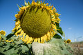 Blooming big sunflowers Helianthus annuus plants on field in summer time. Flowering bright yellow sunflowers background