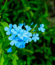 The blooming blue flowers Plumbago Auriculata Royalty Free Stock Photo