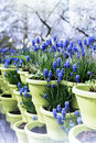 Blooming bluebells in flower pots Stock Image