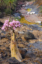 Blooming bottle tree on the bank of the stream. Wild nature. Yemen. Royalty Free Stock Photo