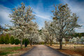 Blooming bradford pear trees at cemetery Stock Photos