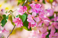 Blooming branch of apple tree in spring Stock Photo