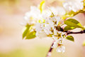 Blooming branch apple tree spring Royalty Free Stock Image