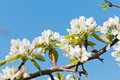 Blooming branch apple tree spring Royalty Free Stock Photos