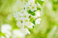 A blooming branch of apple tree Royalty Free Stock Photo