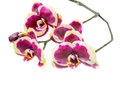 Blooming branch of beautiful dark purple orchid, phalaenopsis wi Royalty Free Stock Photo