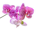 Blooming branch of beautiful lilac spotted orchid, phalaenopsis