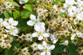 Blooming branch of blackberry Royalty Free Stock Photo