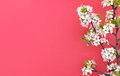 Blooming branch of cherry, spring flowers on red background Royalty Free Stock Photo