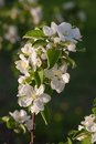 Blooming branch of fruit tree shallow focus Royalty Free Stock Photo