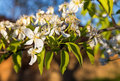 A blooming branch of a pear tree at sunset Royalty Free Stock Photo