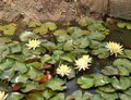 Blooming bright yellow water lilly in the  pond Royalty Free Stock Photo