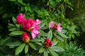 Blooming and budding bright shades of pink Rhododendron flowers  shrubs among green plant on rainy day in Kurokawa onsen town Royalty Free Stock Photo