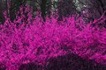Blooming bush close up pink branches Royalty Free Stock Photos
