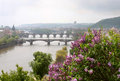 The blooming bush of lilac against vltava river prague czech republic may and charles bridge Royalty Free Stock Photography