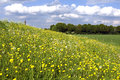 Blooming buttercups and cumulus clouds netherlands province gelderland rural landscape near the small town of doesburg is the Royalty Free Stock Photo