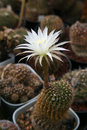 Blooming cactus flowering in the greenhouse succulents Stock Photos
