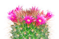 Blooming cactus mammillaria isolated on white background studio Royalty Free Stock Photography