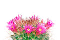 Blooming cactus mammillaria isolated on white background studio Royalty Free Stock Photo
